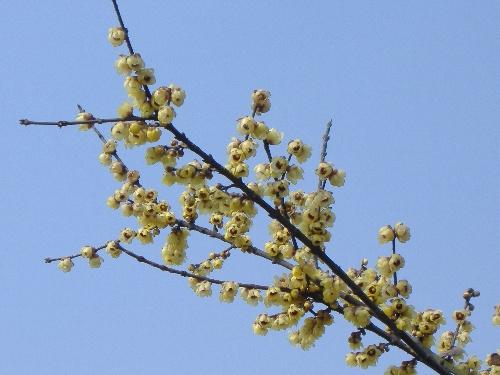 成都塔子山公园怒放的梅花