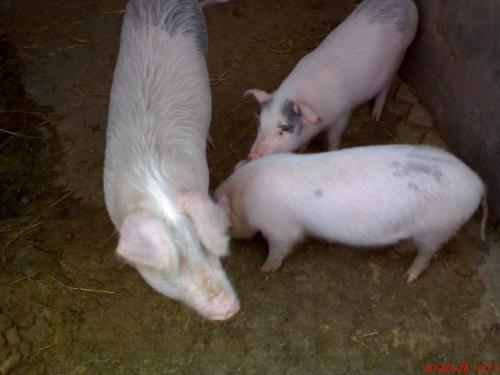 可爱的小猪们 对不起啊