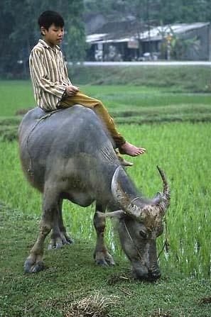 小时候,我们村上有头水牛,时常骑在牛背上.