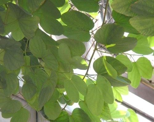 种中文名:羊蹄甲 种拉丁名:bauhinia