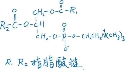 卵磷脂的分子结构是什么?