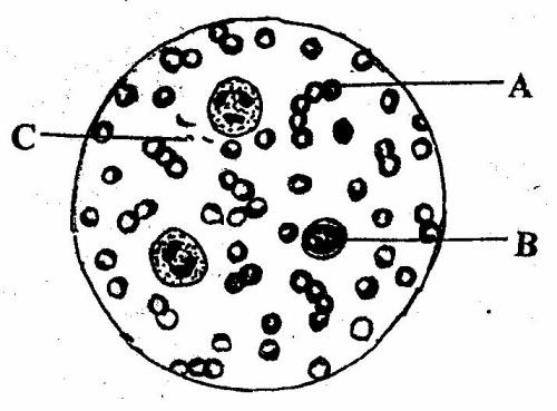 血涂片结构模式图
