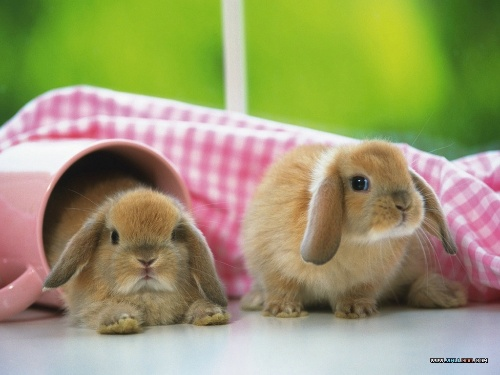 可爱的兔子 (可以放在玻璃杯子里的小免子)