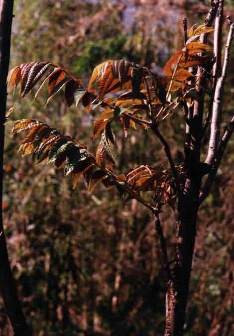 香椿树梢上的嫩尖