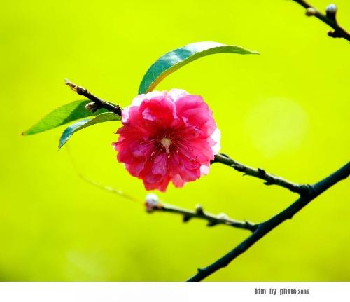 中秋桃花树素材