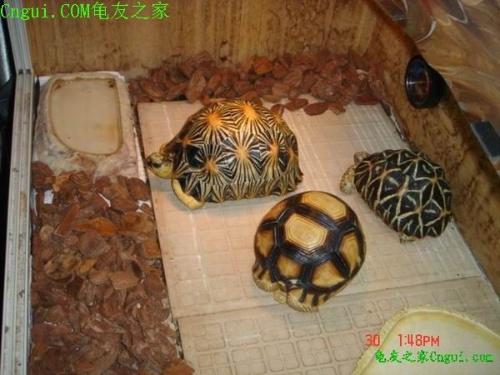 马达加斯加岛是世界第一大岛,也孕育了无数的特有种动物,岛上陆龟就有