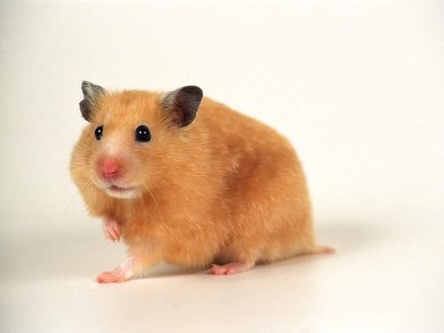 仓鼠是很可爱的宠物之一