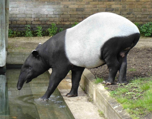 动物园里的灵异动物——貘