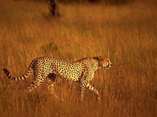 猎豹(散文)-戴奇林-我的搜狐